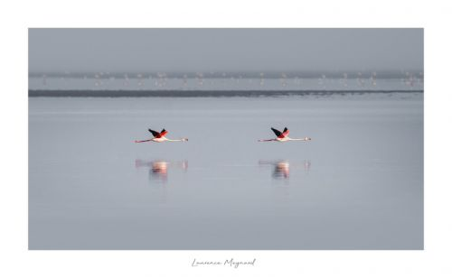 Challenge Duo - Vol de Flamants